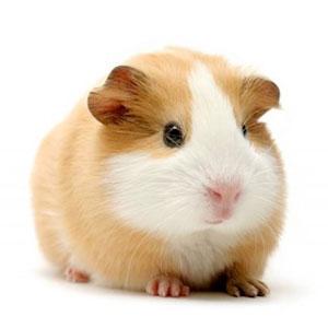 fiches conseils vétérinaire cochon d'indes