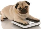 contrôle poids - chien sur une balance