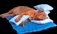chien qui dors sur des coussins