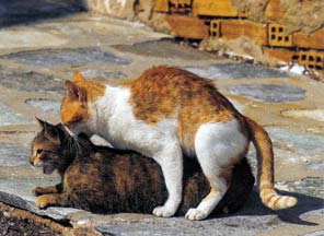 accouplement de chats