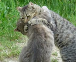 bagarre de chat