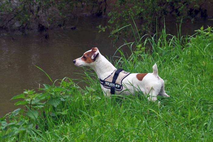 chien avec harnais julius k9