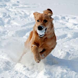 chien mange de la neige