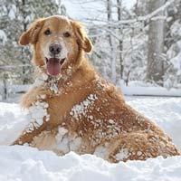 Golden retriver neige