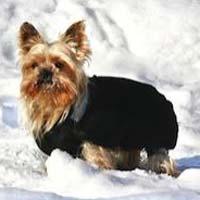 yorkshire terrier dans la neige
