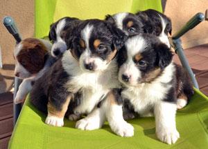 Vente d'animaux interdite pour les particuliers depuis le 1er Janvier 2016 Chiots-BA
