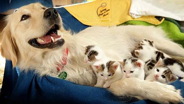 portée de chatons élevés par une chienne