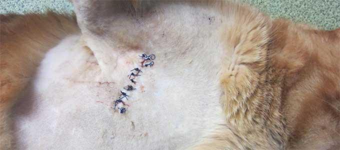suture après parage sur un abcès de chat