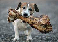 chien_mange_os_poulet