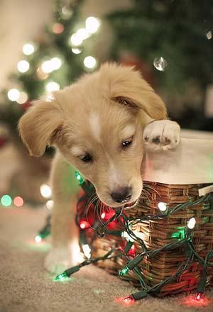 decorations de noël dangereuse pour les chiens