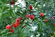 if-taxus-baccata_toxicite_chien